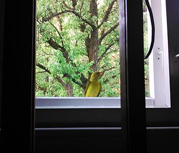 [Фотография] Иволга на окне