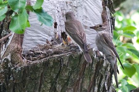 [Фотография] Соловьиное гнездо, кормёжка 23 июня